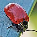 Chrysomèle du peuplier • Chrysomela populi • famille des Chrysomelidae