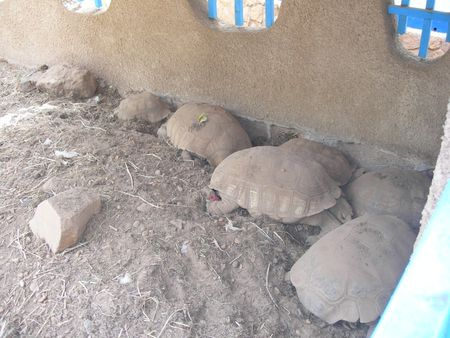 tortues_niger