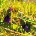 Boutons de violettes