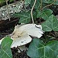 Agaricus p (1)