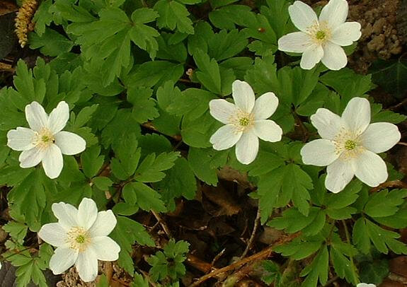 Photo-Anemone_nemorosa-ou-sylviej