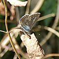 papillon brun1