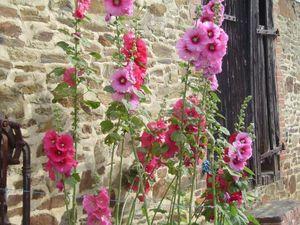 med-roses-tremieres-visoflora-22220