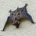 Pipistrelle commune • Pipistrellus pipistrellus • vespertilionidae