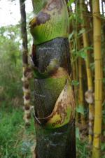 photo 21- Languettes de gaine de chaume tres large a sa base chez B vulgaris 'Striata'