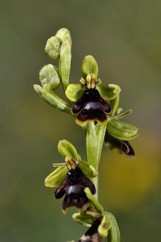_DSC0449_Ophrys_aymoninii_2