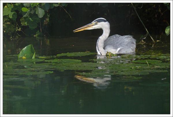 ville lulu heron matin 200713 pelican