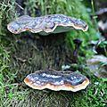 Ganoderma lucidum (3)