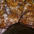 2009 10 31 Un Fayard (Hêtre) vu d'en bas à l'automne