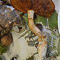 Gymnopilus spectabilis (2)