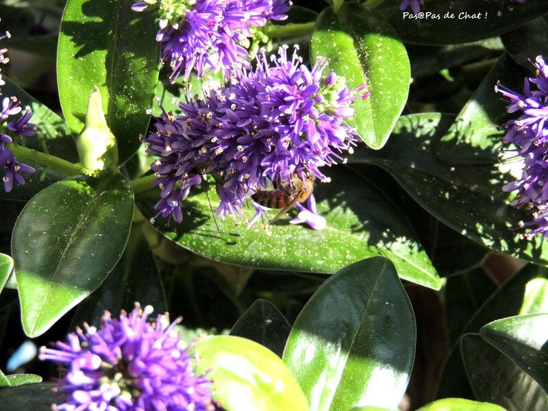 abeille1-pasapasdechat