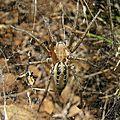Agelena labyrinthica- agelenidae