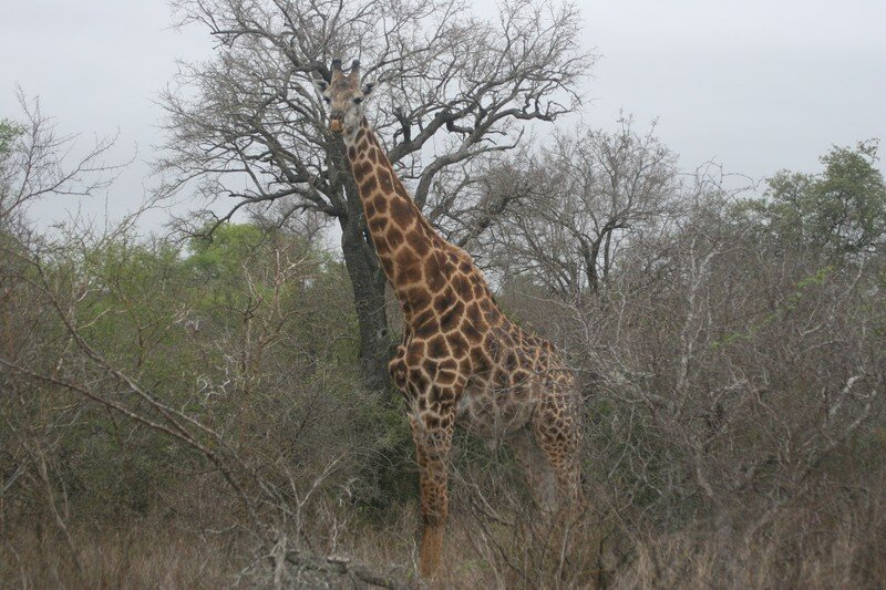 Girafe (3)