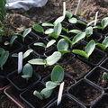 2009 04 22 Les jeunes plants de courgettes sous serre