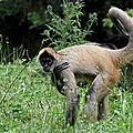 Primates - atele de geoffroy - ateles geoffroyi ou singe araignee aux mains noires