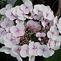 Hortensia blanc rosé