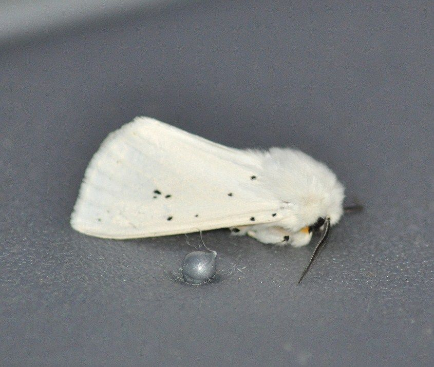 Spilosoma lubricipeda (Ecaille de la menthe, Ecaille tigrée )