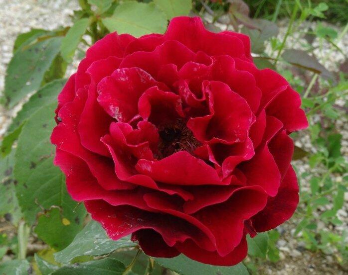 rosier magie noire