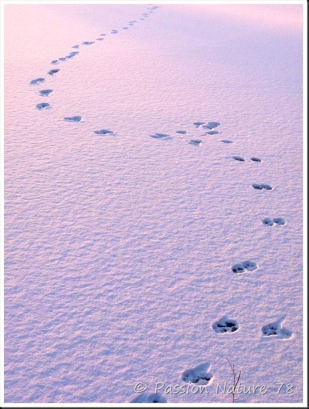 Traces d'animaux dans la neige (30)