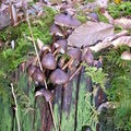 champignons duras 039