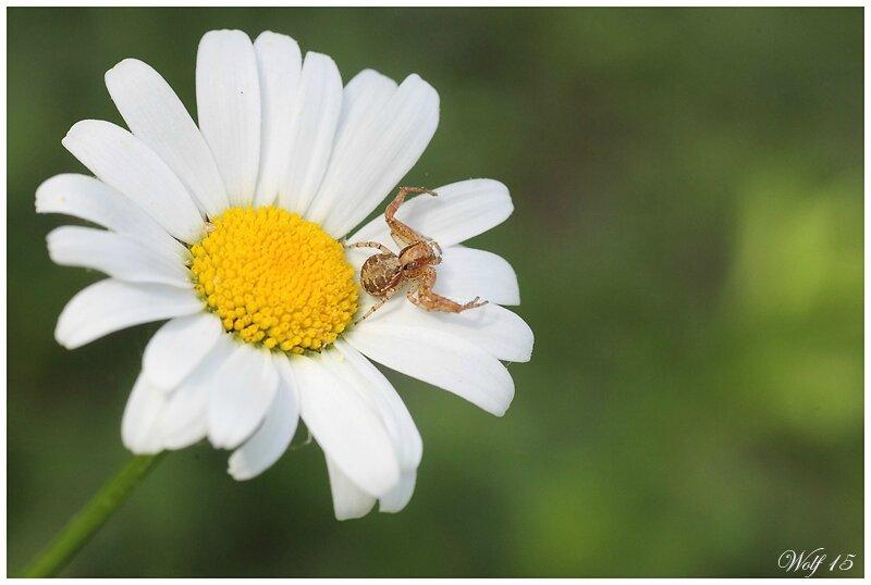 araign-crabe15-03
