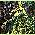 Mimosa 140215