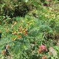 euphorbe rouge