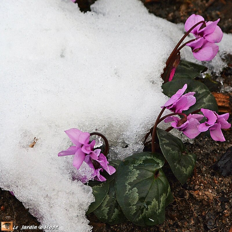 Cyclamen-Coum-rose-2