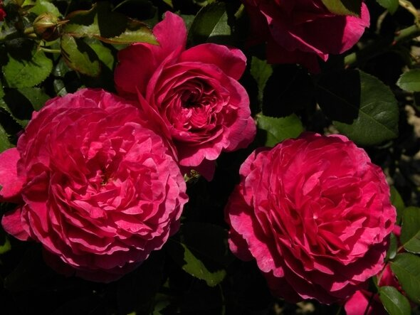 rose-de-normandie