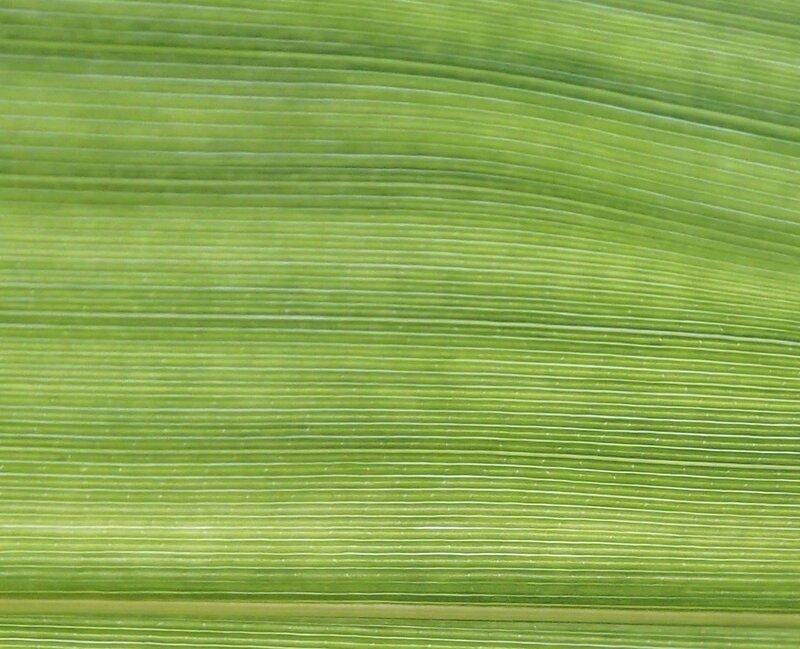 photo 31- absence de tessellations sur les feuilles de B vulgaris