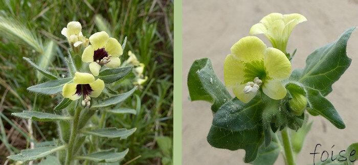 corolle irrégulière jaune pâle non veinée gorge noirâtre ou verdâtre