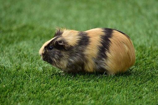 guinea-pig-house-721839__340