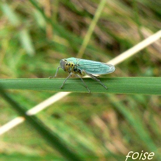 Cicadella_viridis