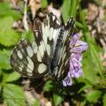 Papillons de l'été: demi-deuil