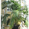 👨🌾 paysagiste pays basque et sud des landes: palmier kentia, plante dépolluante