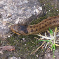 Serpent&belon937