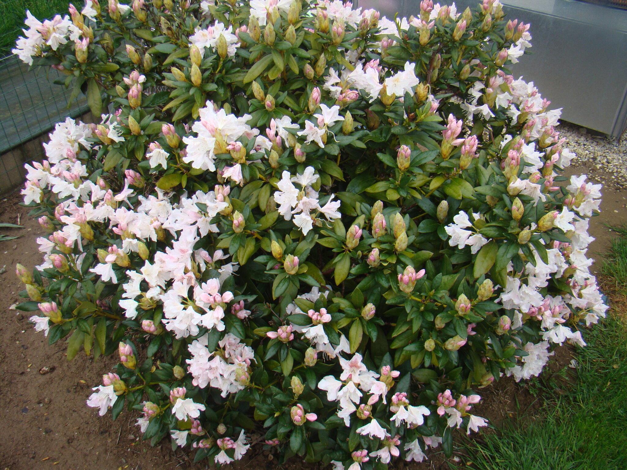 un rhododendron