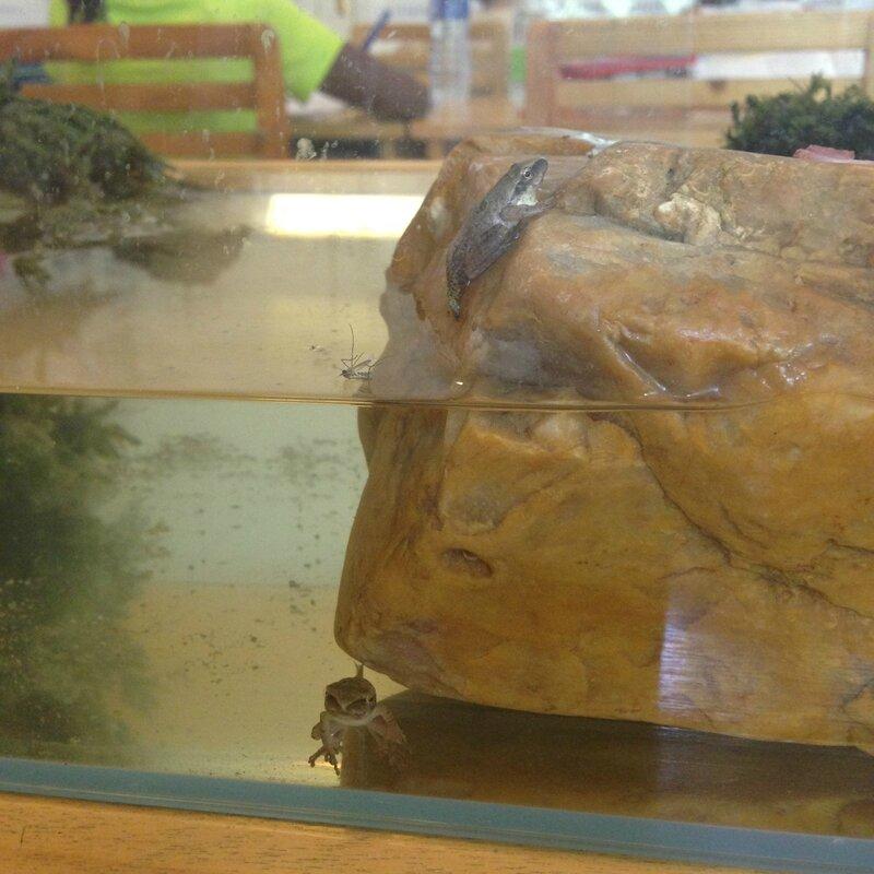 têtard grenouille moustique