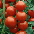 tomate donna