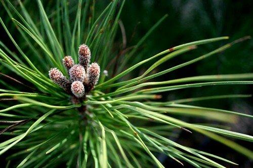 Petit pin deviendra grand