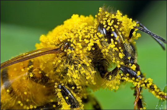 Bee_with_Pollen