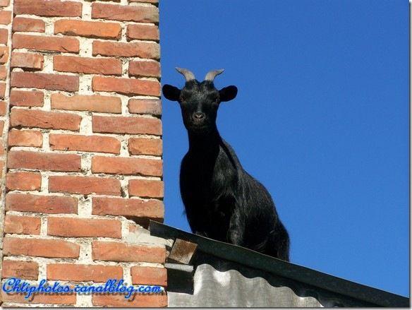 Chèvre de gouttière 2