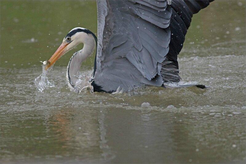 Ville oiseau heron peche matin 170218 ym 2 7