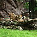Zoo d'anvers : premier « accroc » dans la cohabitation lions-mangoustes