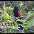 Greater Coucal / Crow Pheasant ,Centropus sinensis.