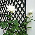 Les roses de la cour