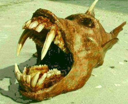 Quinotaure poisson