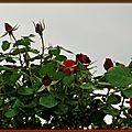 Boutons de roses 040515