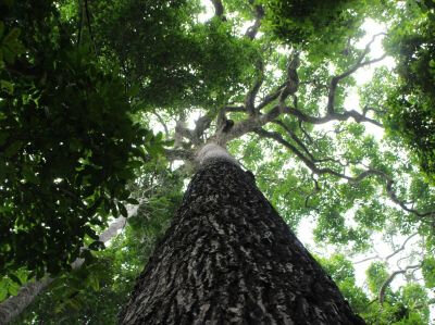 cover-r4x3w400-5e3c2bc2118cf-this-image-shows-a-brazil-nut-tree-in-jau-national-park-credit-victor-caetano-andrade