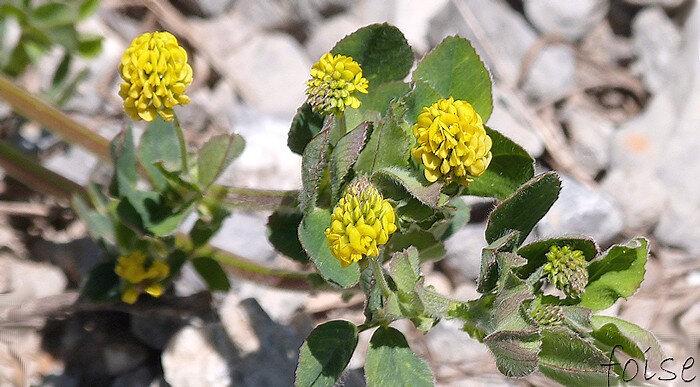 fleurs jaunes (2-3 mm) en grappes ovoïdes compactes
